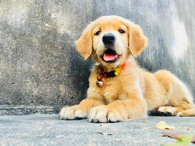 Why Golden Retriever ?